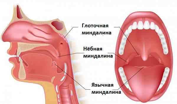 Рыхлые миндалины и горло у ребенка