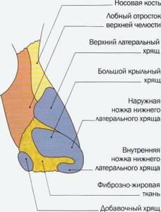 Строение и функции носа человека: заболевания носовых пазух