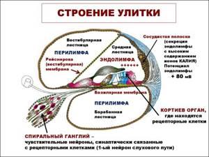 Внутреннее ухо. Особенности строения внутреннего уха