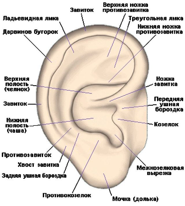 Строение и схема ушной раковины человека: диагностика,